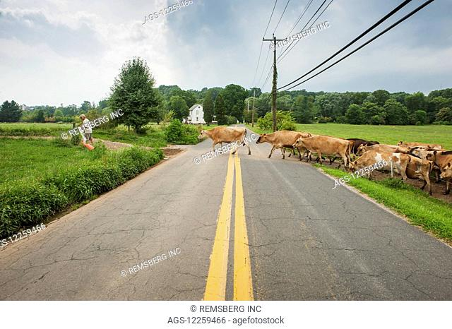 Farmer leading dairy cows across the road, near Long Green; Maryland, United States of America