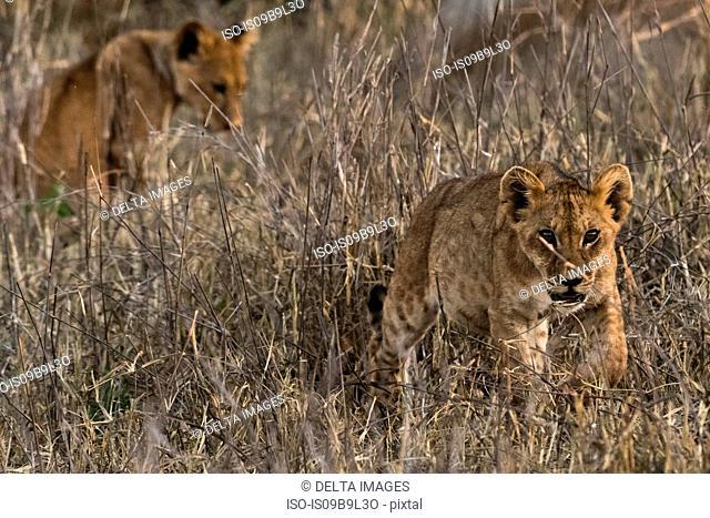 Lions (Panthera leo), in long grass, Tsavo, Kenya, Africa