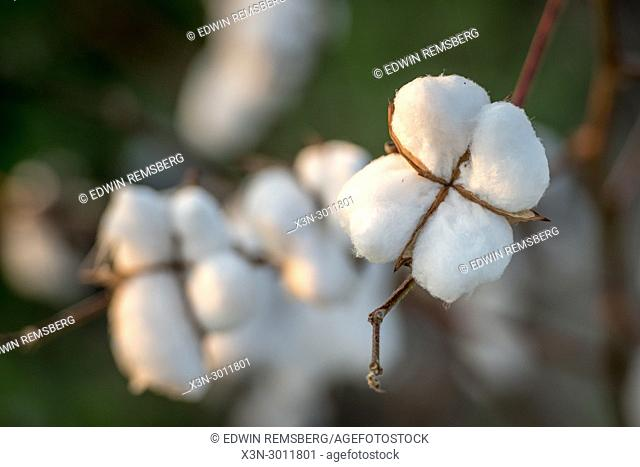 Close up look at fluffy cotton boll ready to be harvested,Tifton, Georgia. USA