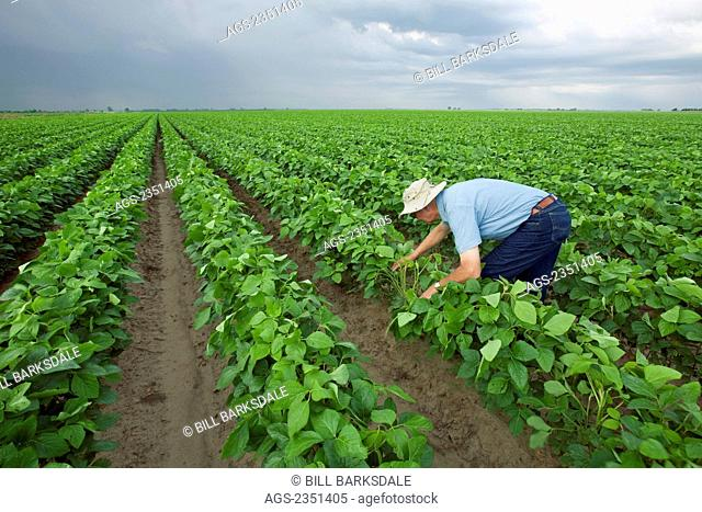 Agriculture - A crop consultant inspects a mid growth crop of soybeans at the pod setting stage / Arkansas, USA