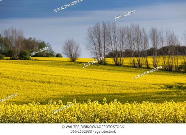 Denmark, Funen, Ladby, rape seed field, springtime