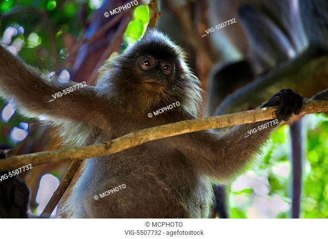 A SILVER BACKED LEAF MONKEY or SILVERY LUTUNG in BAKO NATIONAL PARK which is located in SARAWAK - BORNEO, MALAYSIA - USA, 10/04/2014