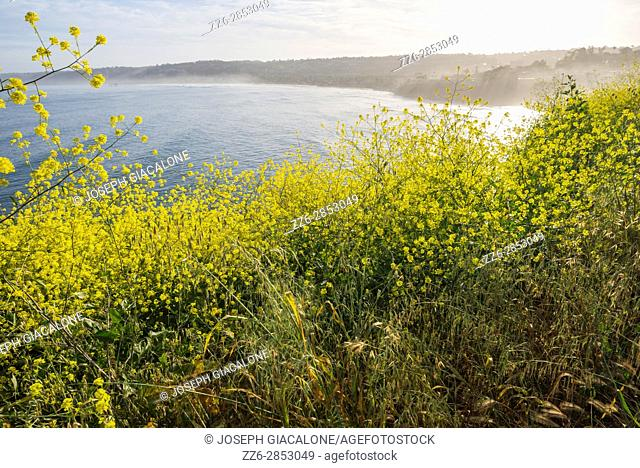 Wildflowers above the Pacific Ocean photographed on a Spring morning. La Jolla, California, USA