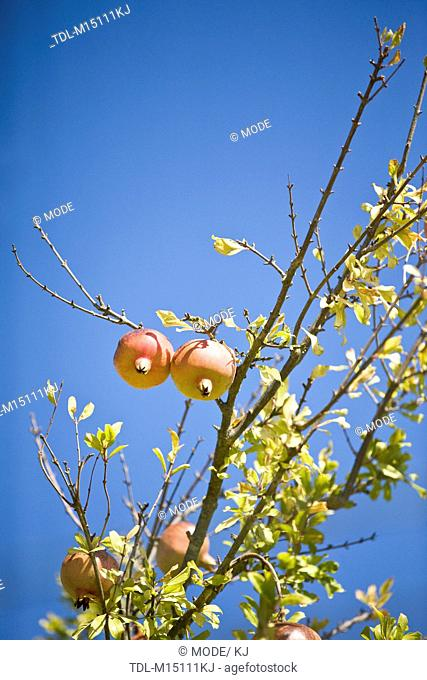 Pomegranates growing on a tree