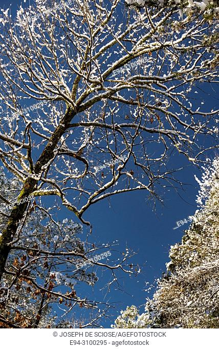 A dusting of snow on the branches of a tree after a snow storm against a blue sky. Birmingham, Alabama, USA