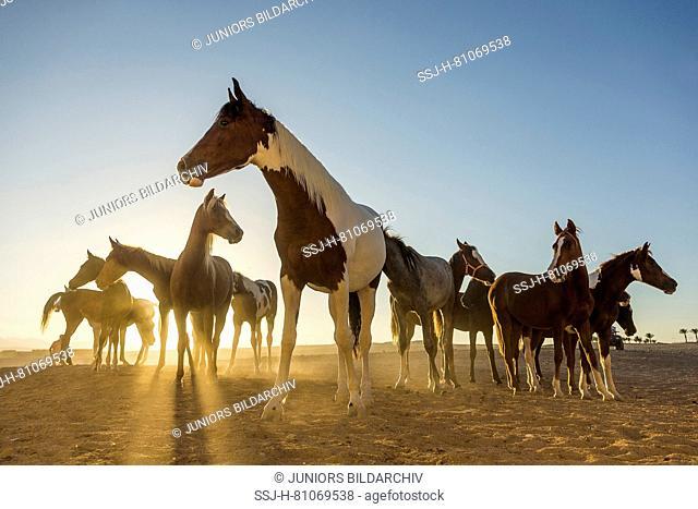 Arabian Horse. Group of juvenile mares standing in the desert in evening light. Egypt