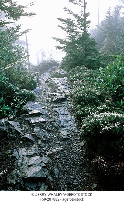 Mountain myrtle (Lejophullum lyoni) on Mount Le Conte. Great Smoky Mountains National Park. Tennessee. USA