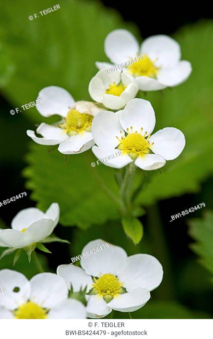 Hautbois strawberry, Musk strawberry (Fragaria moschata), blooming, Germany, Weinberg-Zwingenberg