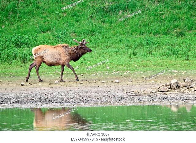 US elk at a lake in USA