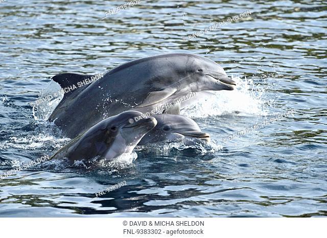 Four bottlenose dolphins, Tursiops truncatus, Bavaria, Germany, Europe