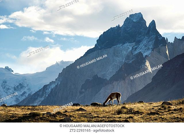 Wide view of a Guanaco grazing on a ridge with the Cuernos del Paine peaks in the background. Torres del Paine National Park, Patagonia, Chile