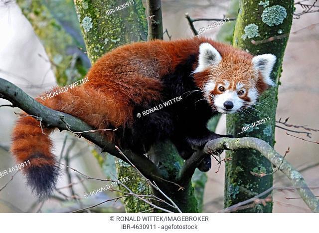 Red pandabear (Ailurus fulgens), captive, Germany