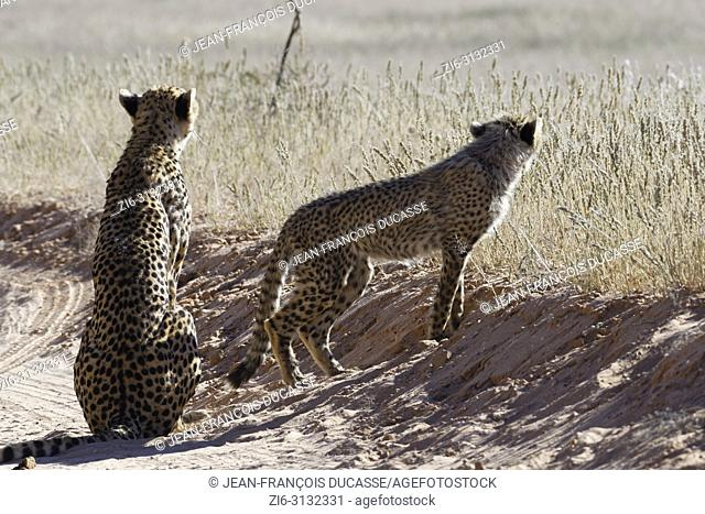 Cheetahs (Acinonyx jubatus), adult female sitting with her standing baby, on a dirt road, alert, Kgalagadi Transfrontier Park, Northern Cape, South Africa