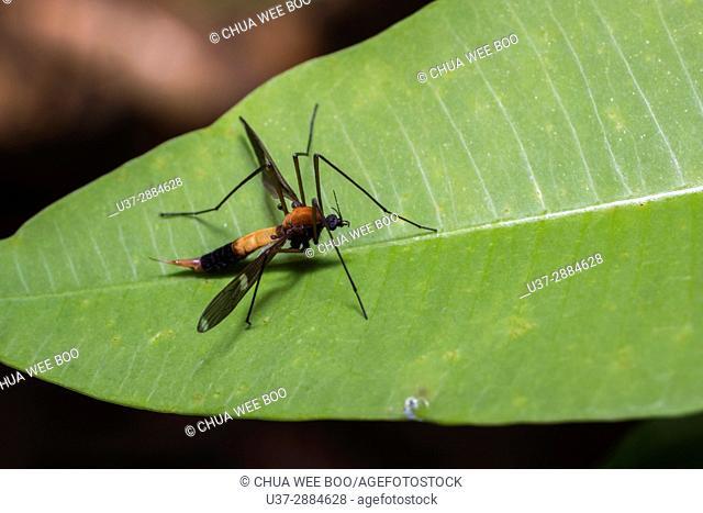 Cranefly, Stutong Forest Reserve Park, Kuching, Sarawak, Malaysia