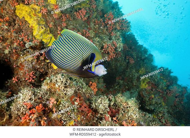 Emperor Angelfish, Pomacanthus imperator, Himendhoo Thila, North Ari Atoll, Maldives