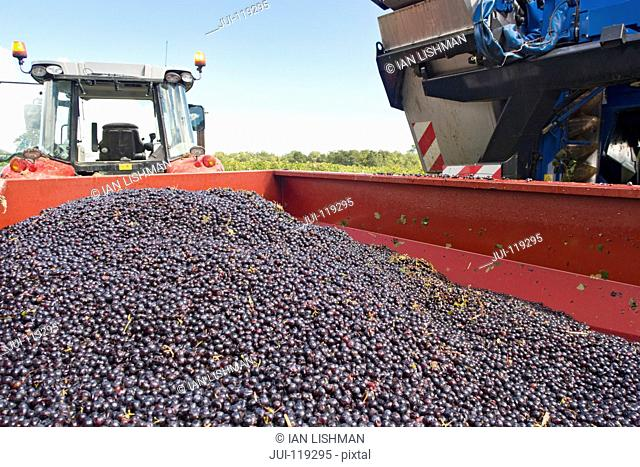 Harvested grapes in trailer in French vineyard