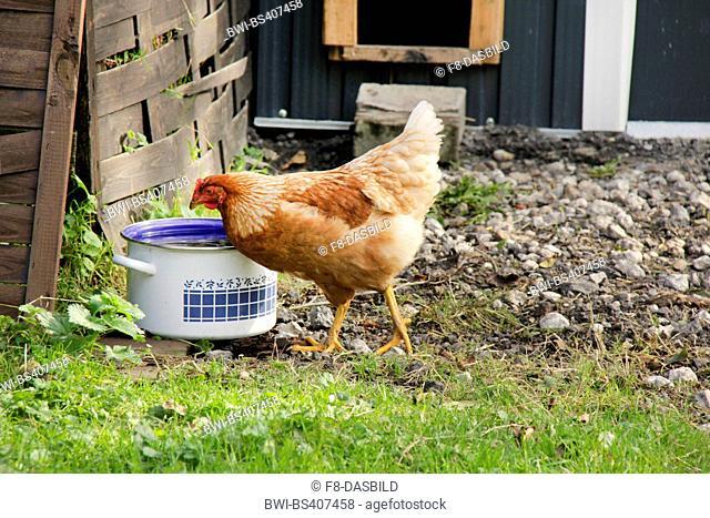 domestic fowl (Gallus gallus f. domestica), brown hen drinks from a pot, Germany, Lower Saxony