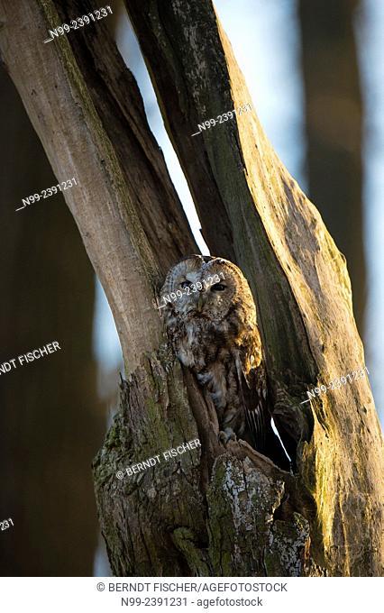 Tawny owl (Strix aluco), resting in hollow tree trunk, Bavaria, Germany