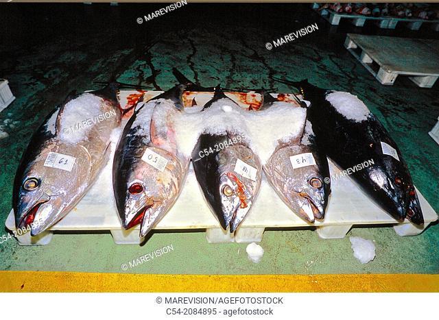 Albacore (Thunnus alalunga) at the fishing port of Vigo, fish market, Eastern Atlantic, Galicia, Spain