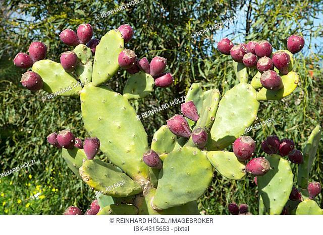 Prickly pear cactus (Opuntia ficus-indica) with fruit, Sardinia, Italy