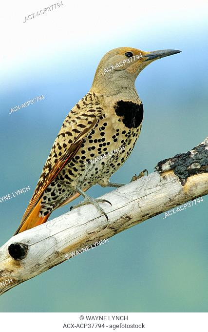 Female northern flicker Colaptes auratus - red-shafted colour phase, southern Okanagan Valley, British Columbia