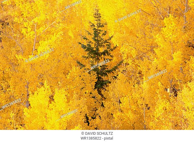 Elevated view over the tops of the aspen trees in the Dixie National Forest in autumn