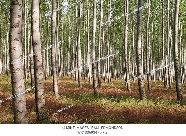 A poplar tree plantation or forest in Oregon, USA