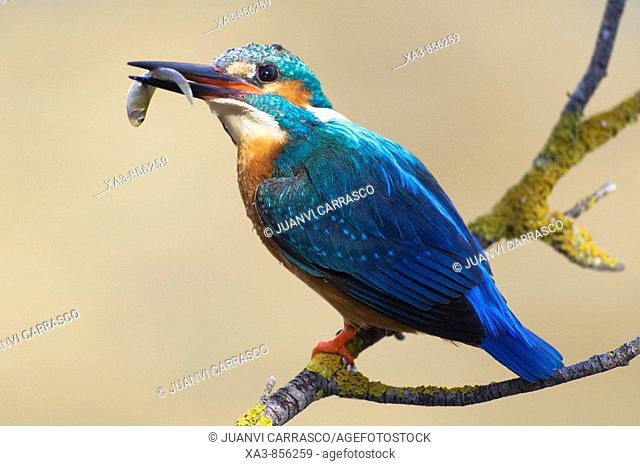 Eurasian kingfisher, Alcedo atthis, perched on a branch with a fish in beak