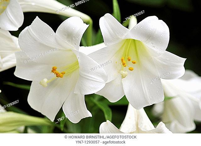 close view of two white Easter lilliy flowers Lilium longiflorum