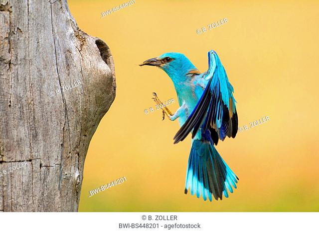 European roller (Coracias garrulus), landing at the breeding cave with prey in the bill, side view, Hungary, Kiskunsag National Park