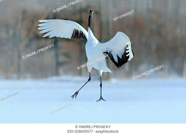 Red-crowned crane, Grus japonensis