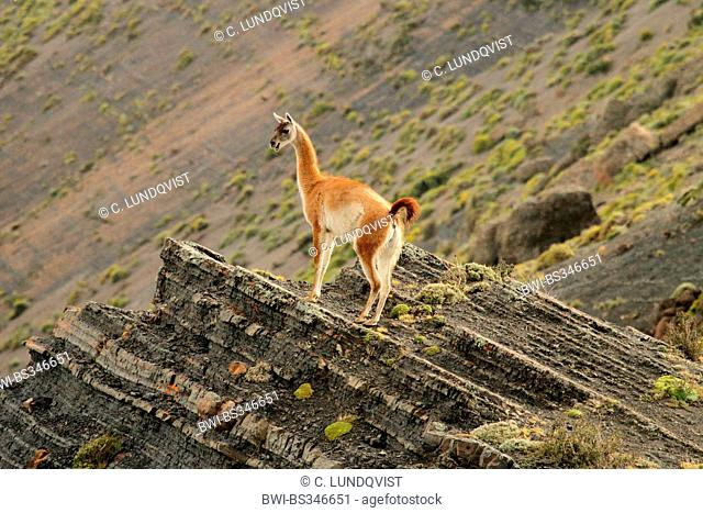 guanaco (Lama guanicoe), on ledge, Chile, Ultima Esperanza, Torres del Paine National Park