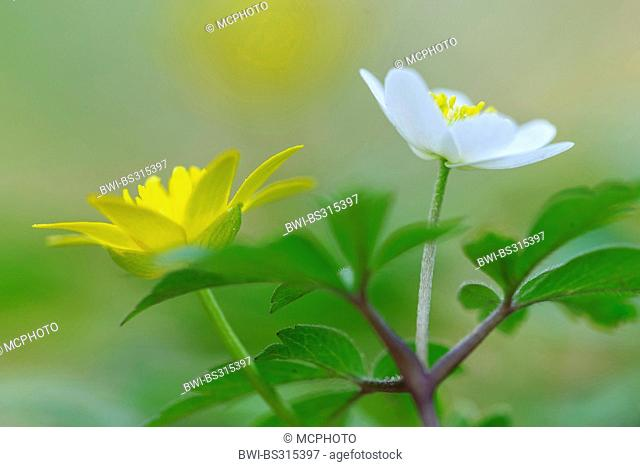 wood anemone (Anemone nemorosa), blooming with lesser celandine, Germany