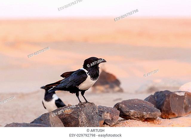 beautifull pied crow (Corvus albus) in namib desert, evening sun