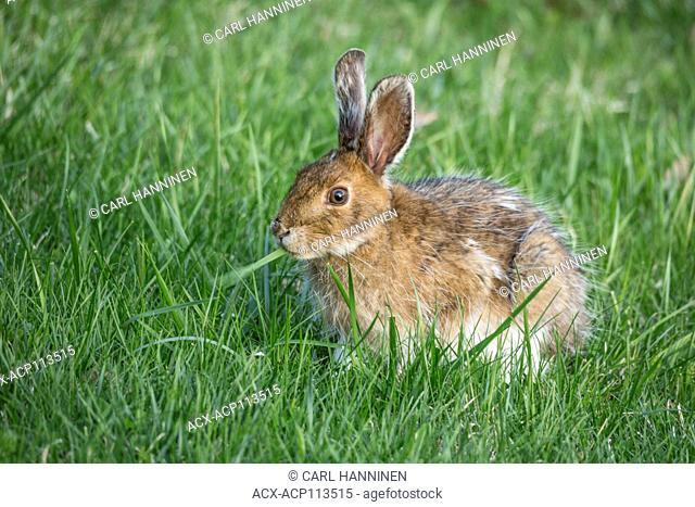 Snowshoe hare (Lepus americanus) morphing to summer coat, showing remnants of winter fur, Sudbury, Ontario, Canada
