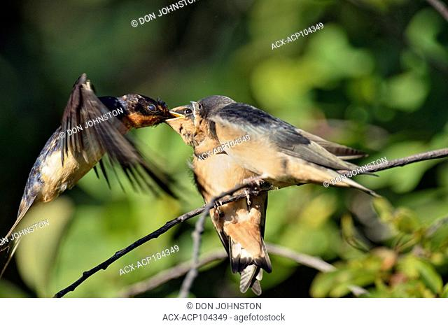 Barn swallow (Hirundo rustica) Fledglings out of the nest being fed by parent bird, Buffalo Pound Provincial Park, Saskatchewan, Canada