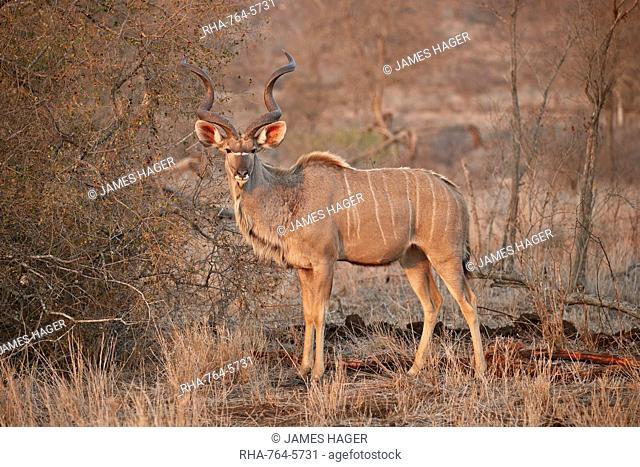 Greater kudu (Tragelaphus strepsiceros) bull, Kruger National Park, South Africa, Africa