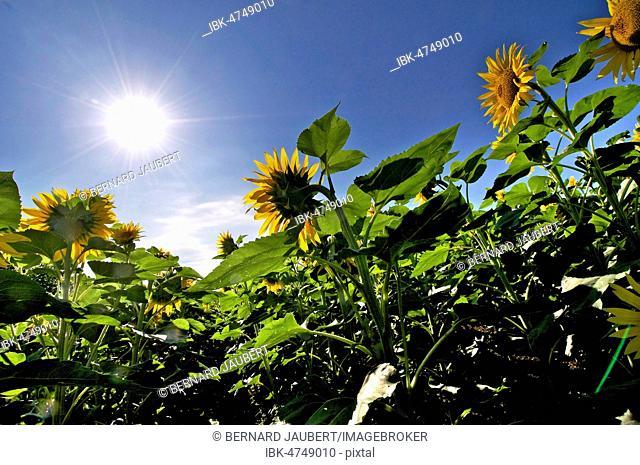 Sunflowers heading to the sun, Puy de Dome department, Auvergne Rhone Alpes, France