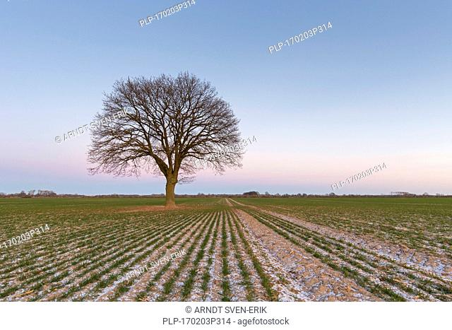 Solitary English oak / pedunculate oak / French oak tree (Quercus robur) in field in winter