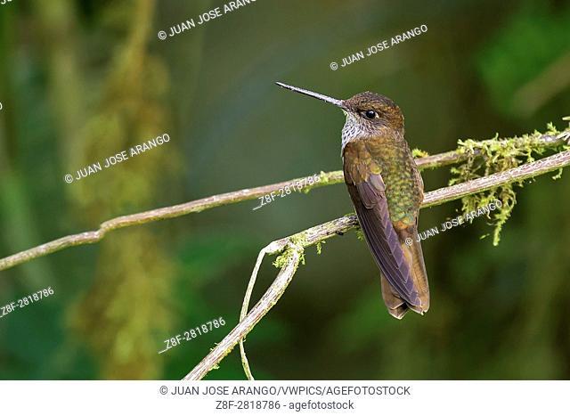 Bronzy Inca (Coeligena coeligena), cabañas de San Isidro, Ecuador