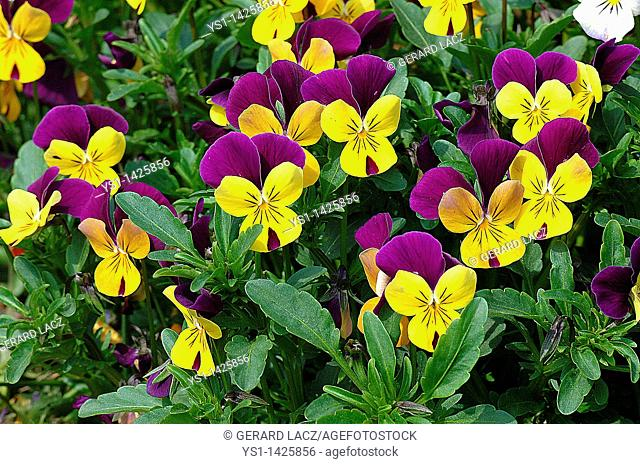 PANSIES viola sp