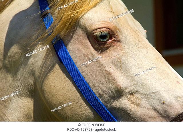 Akhal-Teke horse a stud farm Ashgabat Turkmenistan Asgabat