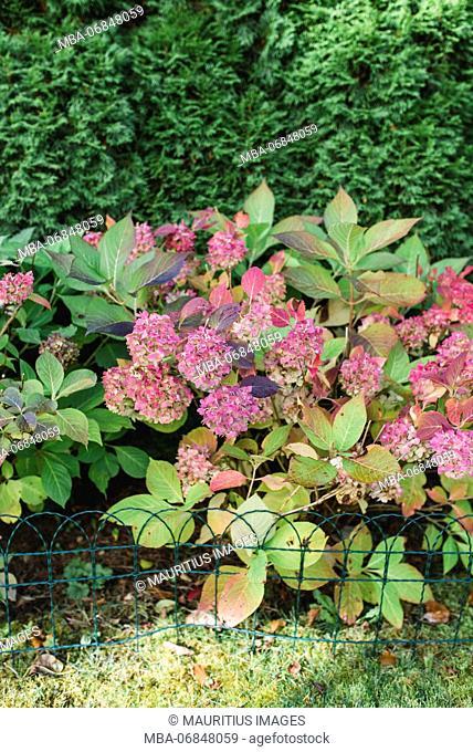 Garden, flowers, hydrangea, pink