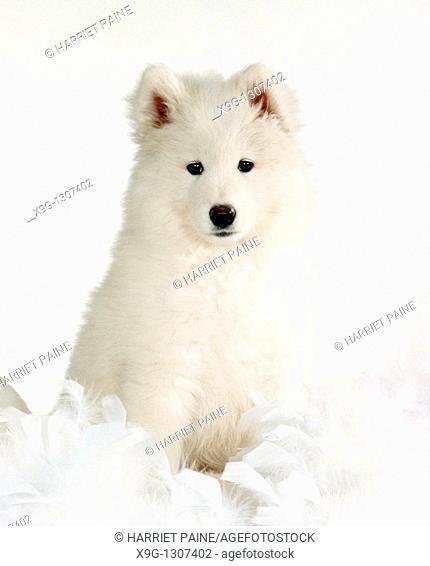 Samoyed puppy: type of breed