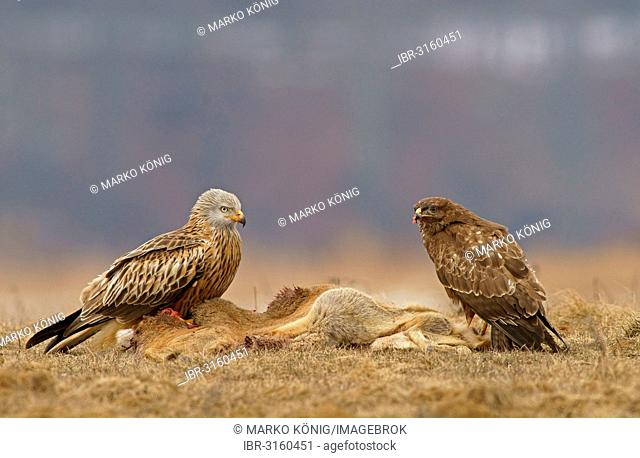 Common Buzzard (Buteo buteo) and a Red Kite (Milvus milvus) with the carcass of a deer