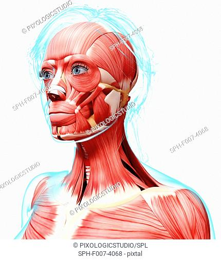 Female head musculature, computer artwork