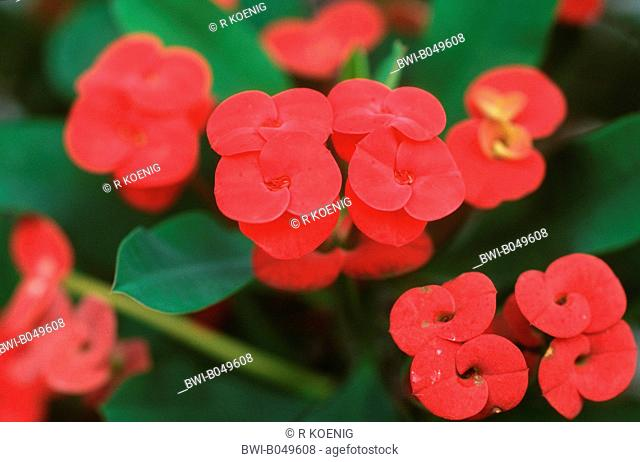 crown-of-thorns, Christ plant Euphorbia milii, blooming