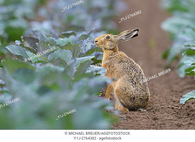 European Brown Hare (Lepus europaeus) in Green Cabbage Field, Summer, Hesse, Germany, Europe