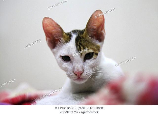 Abyssinian cat white and brownish colour, Ahmednagar, Maharashtra, India