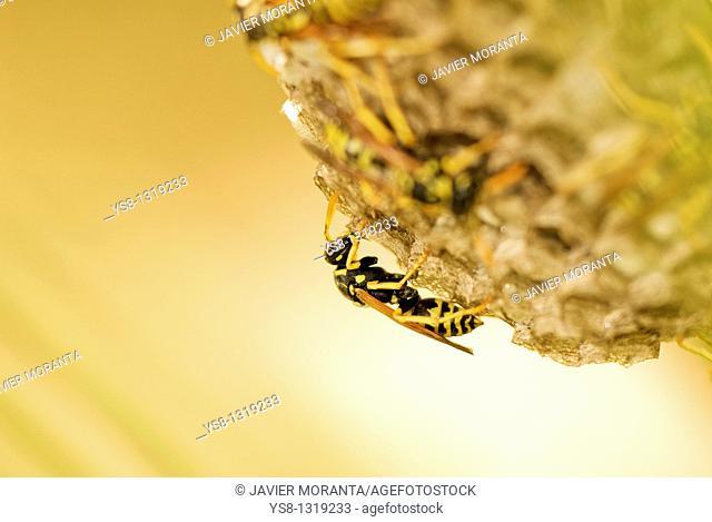 Wasp, Polistes gallicus, Spain, Balearic Islands, Mallorca